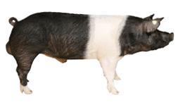 boar4 large
